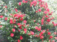 Camelias at Smedmore House