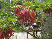 Lobster Claw plant at Smedmore House
